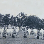 Five Pairs of Kankarej Bullocks were presented to His Highness of Mysore by His Highness Sayajirao Gaekwad of Baroda